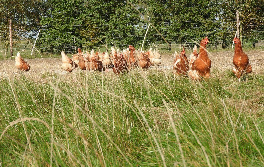 Kippen hebben het goed naar hun zin